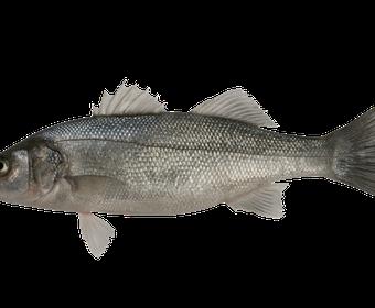 Sea bass PS