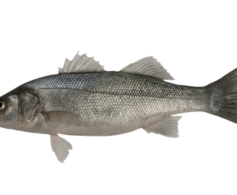 Sea bass PS