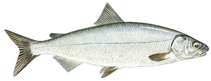 Fresh water fish - Whitefish