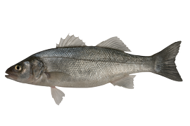 Salt water fish - Sea bass