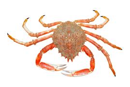 Shellfish - Spider crab