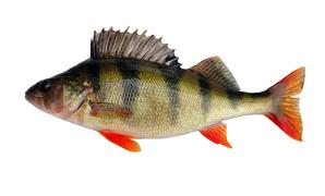 Fresh water fish - Perch