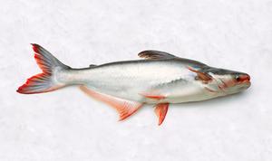 Fresh water fish - Pangasius