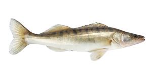 Fresh water fish - Pike-perch