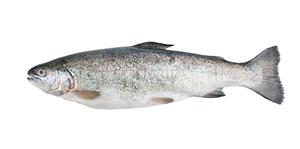 Fresh water fish - Sea trout