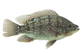 Fresh water fish - Tilapia