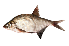 Fresh water fish - Bream