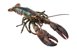 Shellfish - Lobster