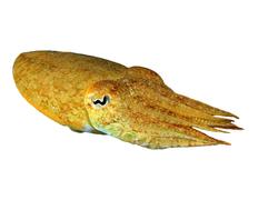 Shellfish - Cuttlefish