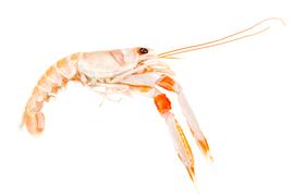 Shellfish - Langoustine