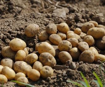 New potatoes PS