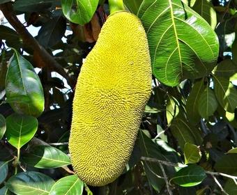 jackfruit PS