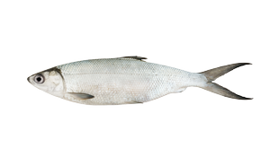 Fresh water fish - Vendace