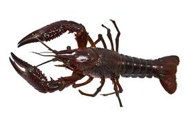 Shellfish - European crayfish