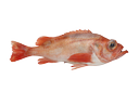 Golden redfish