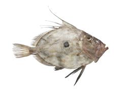 Salt water fish - John Dory