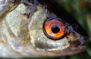 Fresh fish eye