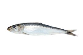 Salt water fish - Sardine/anchovies