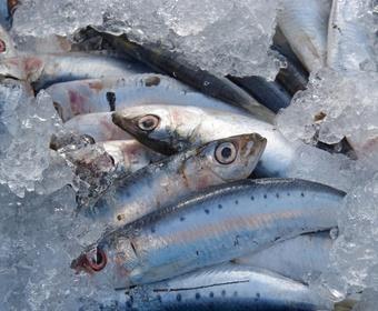 fresh sardines PS