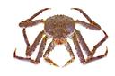 King crab,