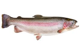 Fresh water fish - Rainbow trout