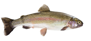 Fresh water fish - Trout