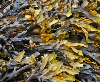 Brown seaweed