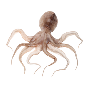 Shellfish - Octopus
