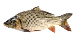 Fresh water fish - Carp