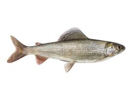 Fresh water fish - Grayling
